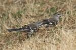 HSNP Promenade Mockingbird Babies