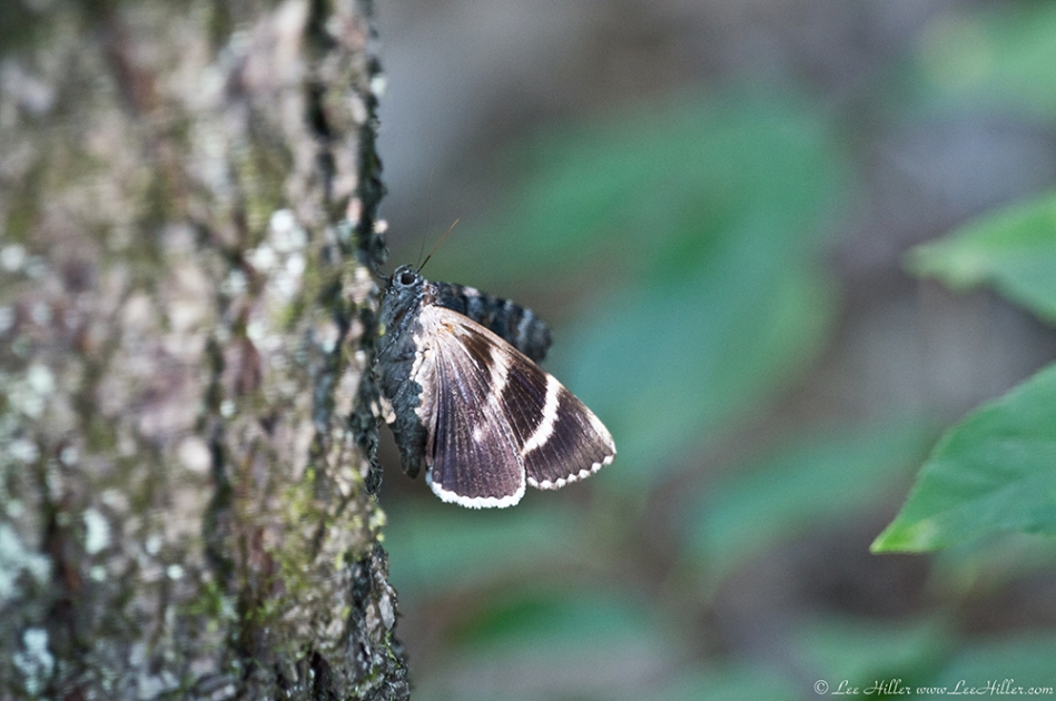 HSNP Hot Springs Mountain Trail Moth
