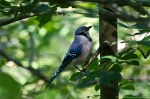 HSNP Hot Springs Mountain Trail Juvenile Blue Jay