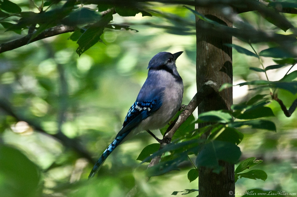HSNP Hot Springs Mountain Trail Juvenile Blue Jay