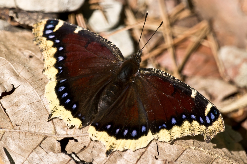 HSNP Hot Springs Mt Trail Mourning Cloak Butterfly