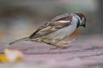 HSNP Fountain Street Lawn Male House Sparrow