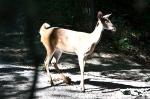 HSNP Hot Springs Mountain Trail Whitetail Deer Doe