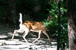 HSNP Hot Springs Mountain Trail Whitetail Deer Doe