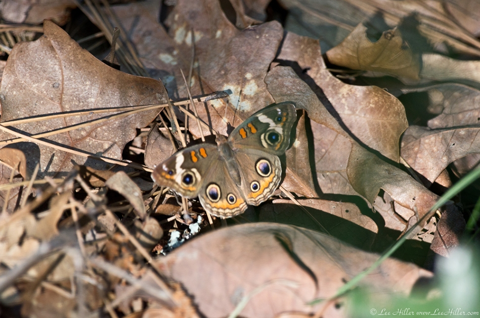 HSNP Hot Springs Mountain Trail Common Buckeye Butterfly