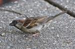 HSNP Tufa Terrace Trail Male House Sparrow
