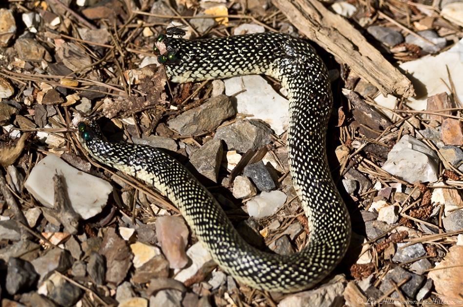 HSNP Floral Trail Speckled King Snake Body