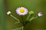 HSNP West Mt Top Trail Daisy Fleabane