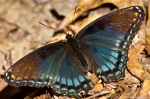 HSNP Lower Dogwood Trail Red Spotted Purple Butterfly