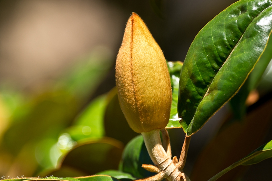HSNP Fountain Street Lawn Magnolia Bud