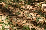 HSNP Fountain Street Lawn Magnolia Fallen Leaves
