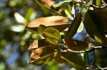 HSNP Fountain Street Lawn Magnolia brown Leaves