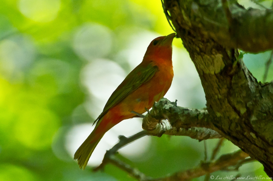 HSNP Lower Dogwood Trail Summer Tanager
