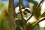 HSNP Fountain Street Lawn Sparrow in Magnolia Tree