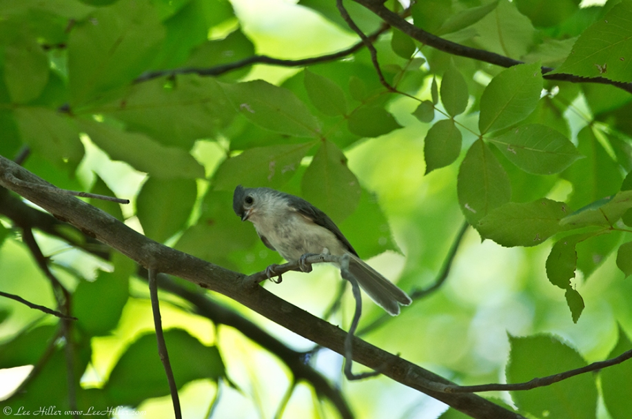 HSNP Floral Trail Spring Tufted Titmouse