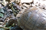 HSNP Sunset Trail Box Turtle
