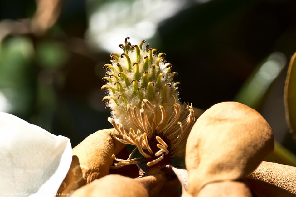 HSNP Arlington Lawn Magnolia Seed Pod