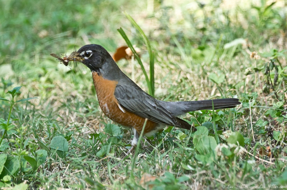 HSNP Hot Springs Mt Road American Robin