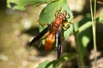 HSNP Sunset Trail Red Paper Wasp