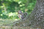 HSNP Fountain Trail Squirrel with Straw Lid