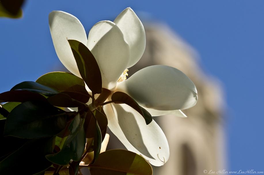 HSNP Arlington Lawn Southern Magnolia