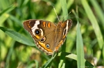 HSNP Arlington Lawn Common Buckeye Butterfly