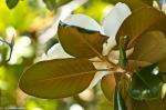 HSNP Arlington Lawn Magnolia