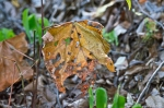 HSNP Hot Springs Mt Trail Dried Leaf