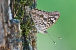 HSNP Peak Trail Hackberry Emperor Butterfly