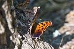 HSNP Peak Trail Hackberry Emperor & Question Mark Butterflies