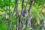 HSNP Tufa Terrace Trail Juvenile Cardinal
