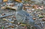 HSNP Peak Trail Juvenile Mourning Dove