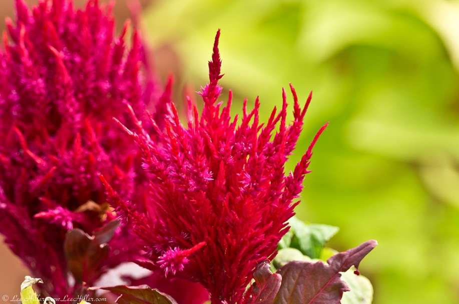 Hot Springs Arlington Hotel Celosia