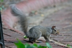HSNP Promenade (Romeo) Male Squirrel