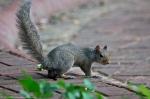 HSNP Promenade (Romeo) Male Squirrel