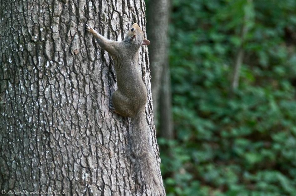 HSNP Promenade (Juliette) Female Squirrel