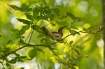 HSNP Fountain Trail Red-Eyed Vireo
