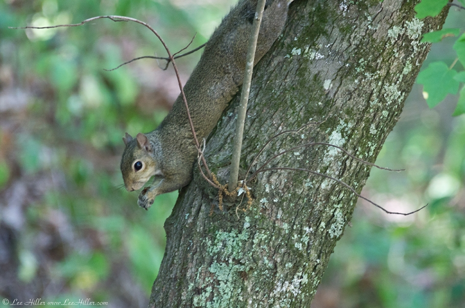 HSNP Hot Springs Mountain Road Squirrel