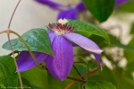 Hot Springs Arkansas Clematis