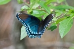 HSNP Hot Springs Mountain Trail Red Spotted Purple Butterfly