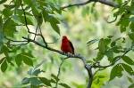 HSNP Honeysuckle Trail Scarlet Tanager