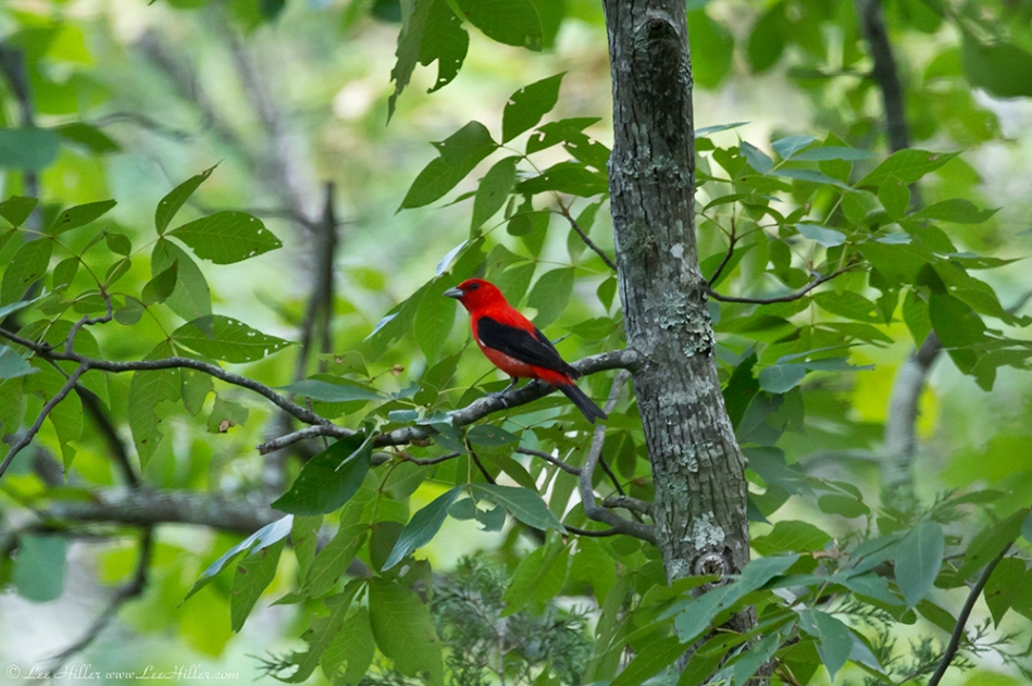 HSNP Honeysuckle Trail Scarlet Tanager