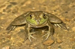 Garvan Woodland Gardens Arkansas American Bullfrog