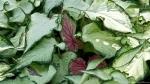 Garvan Woodland Gardens Arkansas Unidentified Leafy Plants