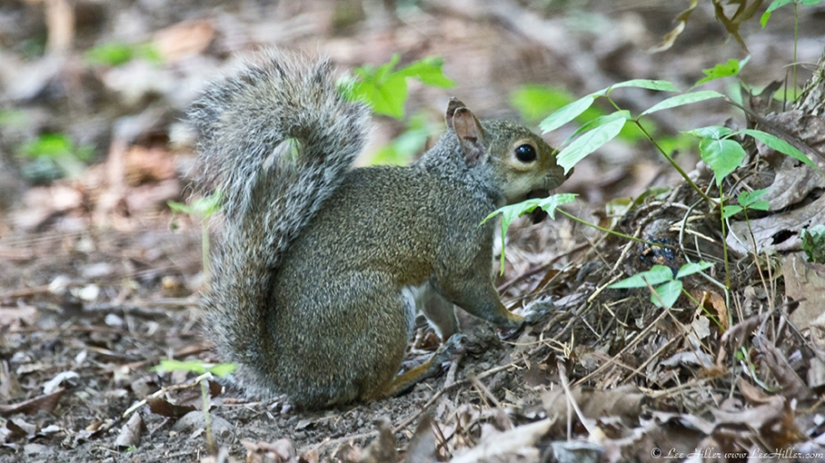 Garvan Woodland Gardens Arkansas Juvenile Squirrel