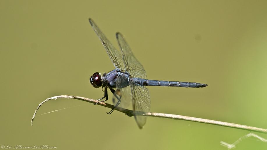 Garvan Woodland Gardens Arkansas Blue Dragonfly