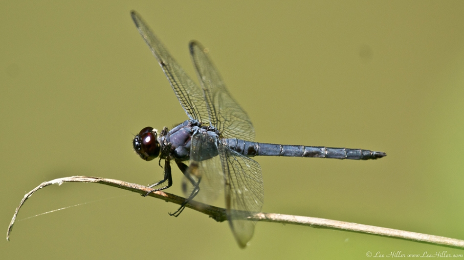 Garvan Woodland Gardens Arkansas Blue Dragonfly