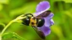 Garvan Woodland Gardens Arkansas Carpenter Bee