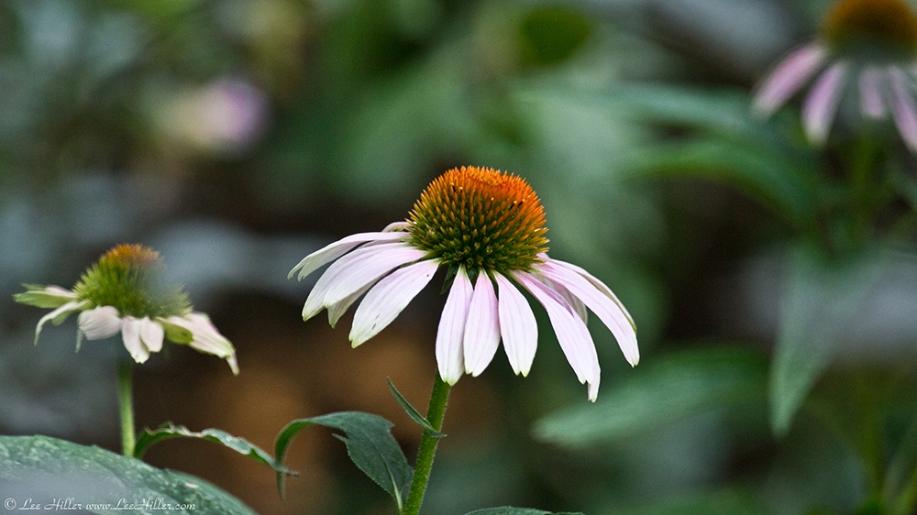 Garvan Woodland Gardens Arkansas Cone Flower