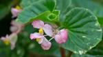 Garvan Woodland Gardens Arkansas Pink Begonia